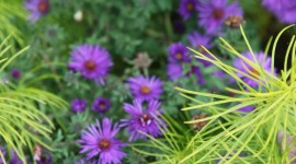Asters Wallpaper For Mobile