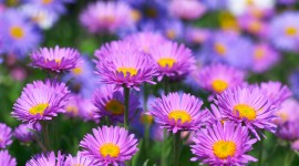 Asters Wallpaper For PC