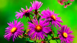 Asters Wallpaper Gallery