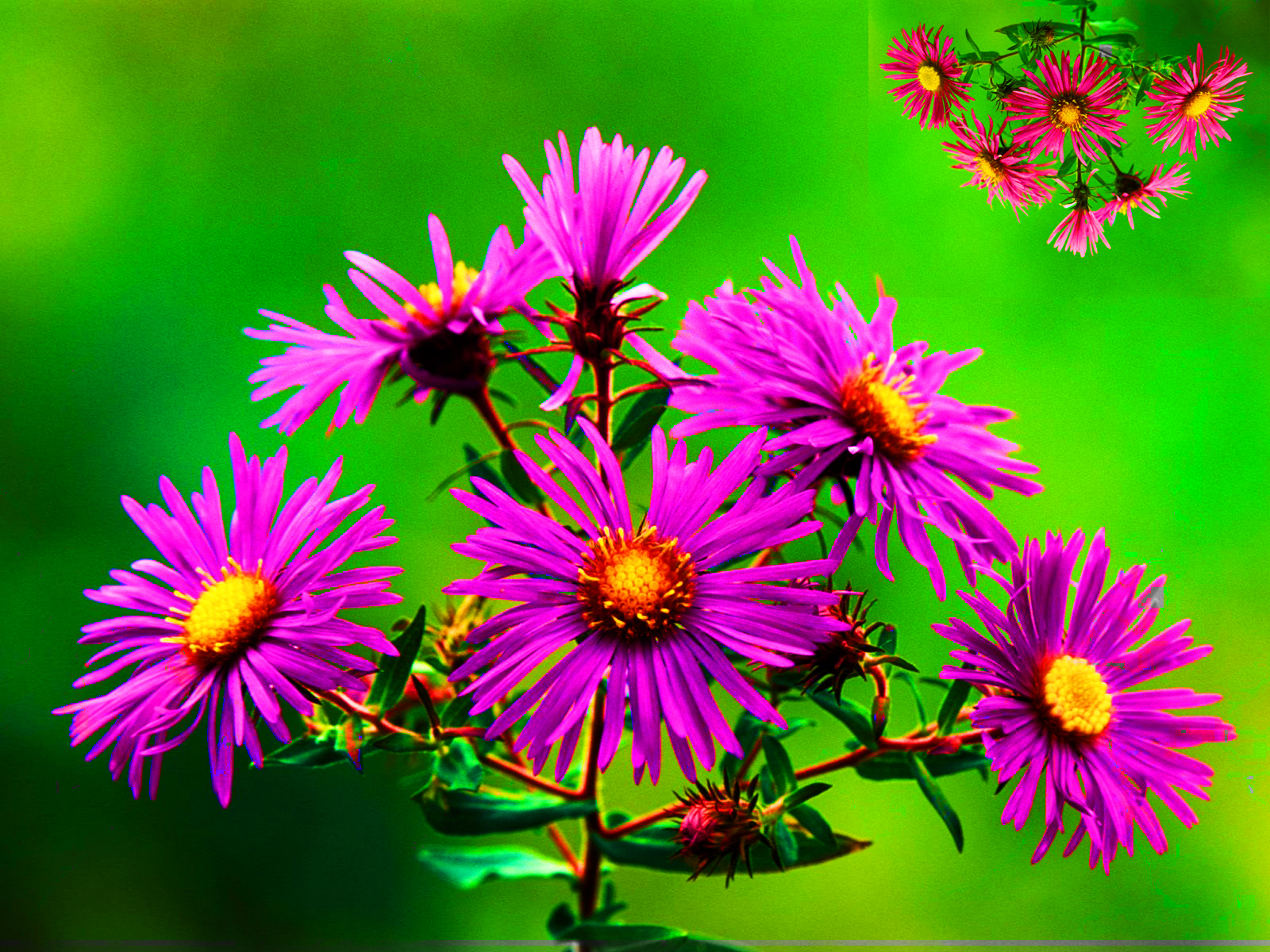 Asters Wallpapers High Quality Download Free