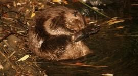 Beavers Photo