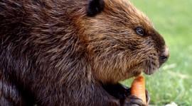 Beavers Wallpaper