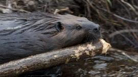 Beavers Wallpaper Download Free