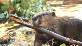 Beavers Wallpaper Free