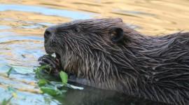 Beavers Wallpaper Full HD