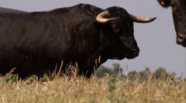 Bull Photo Download