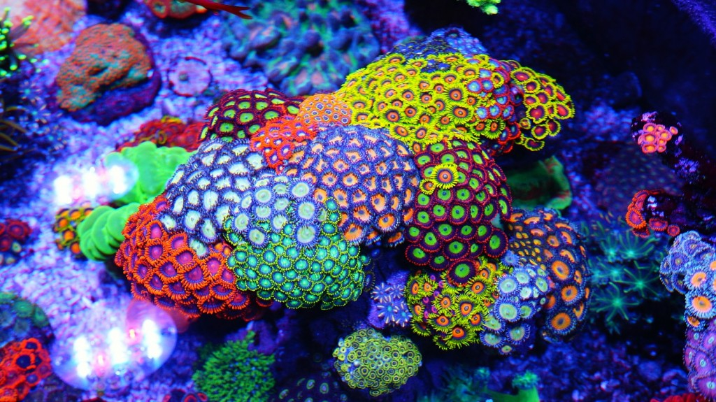 Corals wallpapers HD