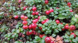 Cowberry Photo
