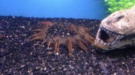 Crayfish Best Wallpaper