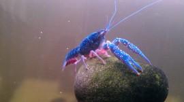 Crayfish Wallpaper 1080p