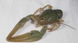 Crayfish Wallpaper Download Free