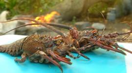 Crayfish Wallpaper Free