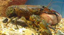 Crayfish Wallpaper Full HD
