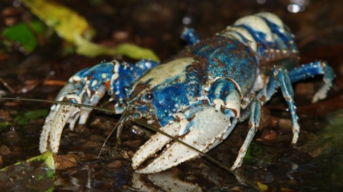 Crayfish wallpapers high quality