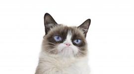 Grumpy Cat Grumpy Cat Wallpaper