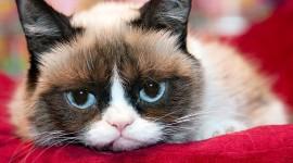 Grumpy Cat Wallpaper For PC