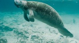Manatee Wallpaper For PC