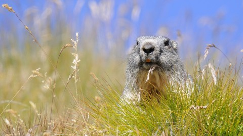 Marmot wallpapers high quality