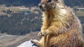 Marmot Desktop Wallpaper