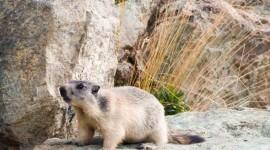 Marmot Desktop Wallpaper HD