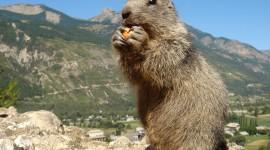 Marmot Photo Download