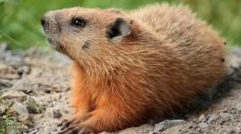 Marmot Photo Free