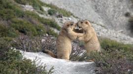 Marmot Wallpaper Free