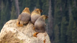 Marmot Wallpaper Full HD