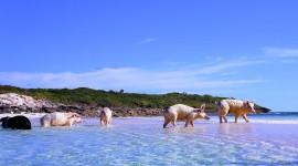Pigs In The Bahamas Desktop Wallpaper