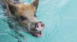 Pigs In The Bahamas Desktop Wallpaper HD