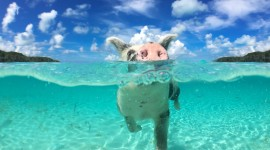 Pigs In The Bahamas Wallpaper For Desktop