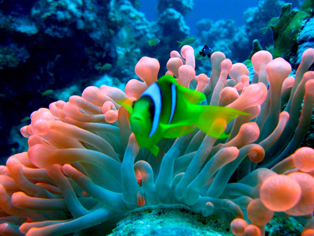 Sea Anemones wallpapers HD