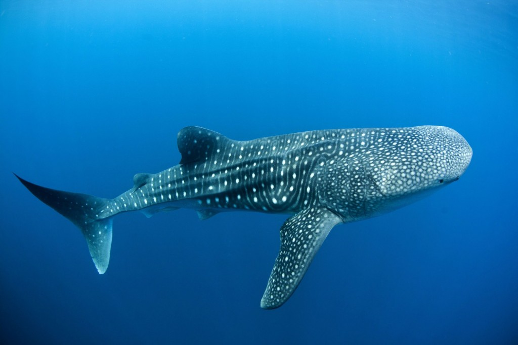 Whale Shark wallpapers HD