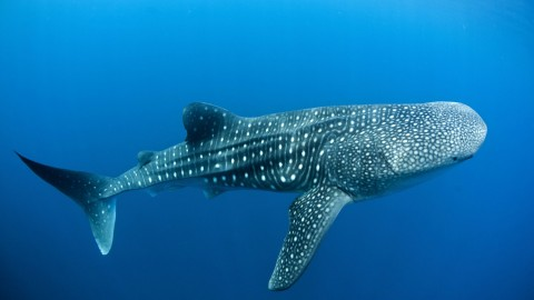 Whale Shark wallpapers high quality