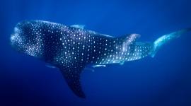 Whale Shark Wallpaper For PC
