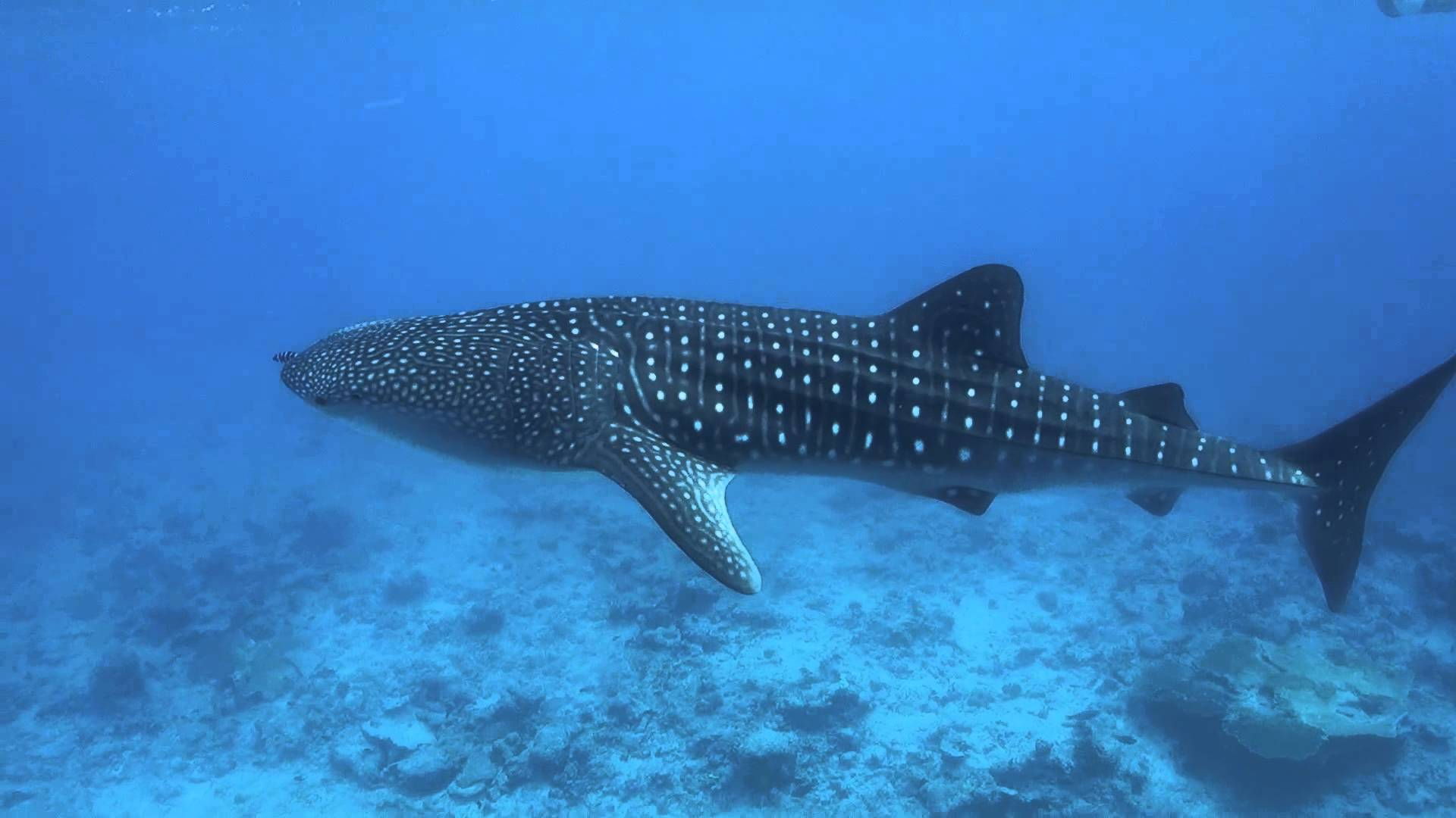 Whale Shark Wallpapers High Quality Download Free