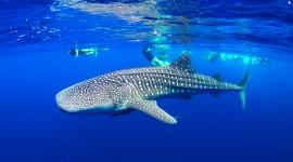 Whale Shark Wallpaper Full HD