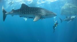 Whale Shark Wallpaper Gallery