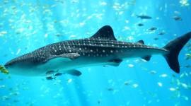 Whale Shark Wallpaper HQ