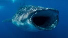 Whale Shark Wallpaper High Definition