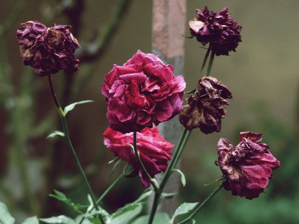 Wilted Flowers wallpapers HD