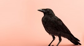 4K Crows Photo Free