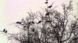 4K Crows Wallpaper Download
