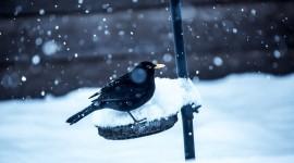4K Crows Wallpaper Download Free