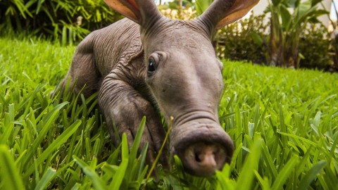 Aardvark wallpapers high quality