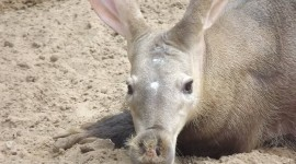 Aardvark Photo