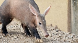 Aardvark Photo Free