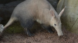 Aardvark Wallpaper Download