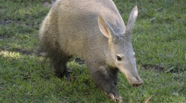 Aardvark Wallpaper Download Free