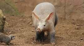 Aardvark Wallpaper For Desktop